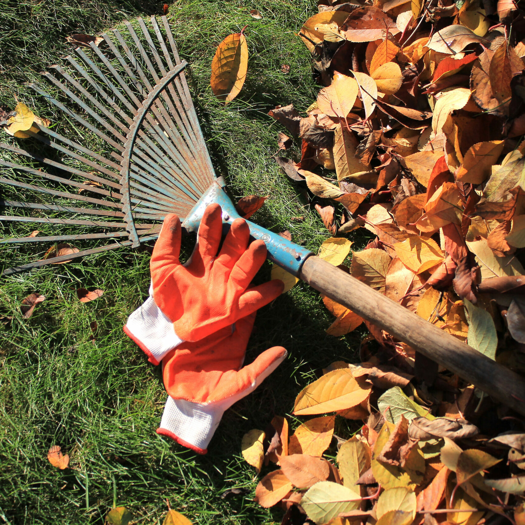 A fan rake and gloves lie on the grass next to a pile of fallen autumn leaves. Top view.